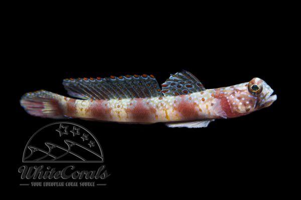 Amblyeleotris periophthalma - Shrimp Goby