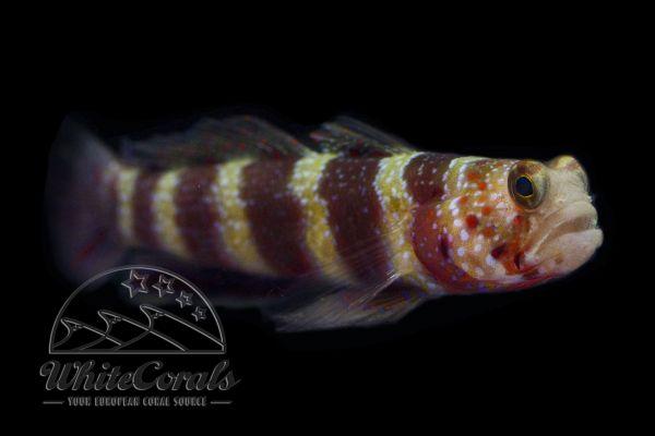 Amblyeleotris wheeleri - Wheeler's Shrimp Goby