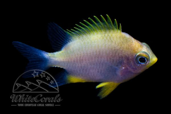 Amblyglyphidodon aureus - Golden Damselfish