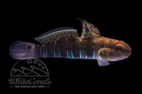 Amblygobius phalaena - White-barred goby
