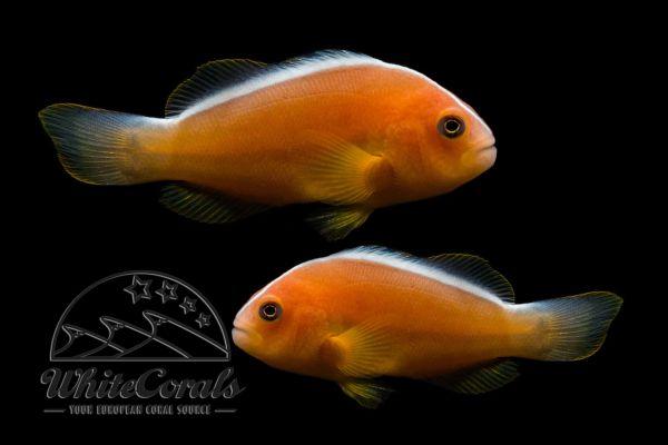 Amphiprion akallopisos - Indischer Weissruecken-Clownfisch (Paar)