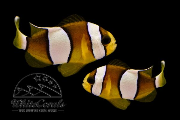 Amphiprion clarkii - Clarks Anemonenfisch (Paar)