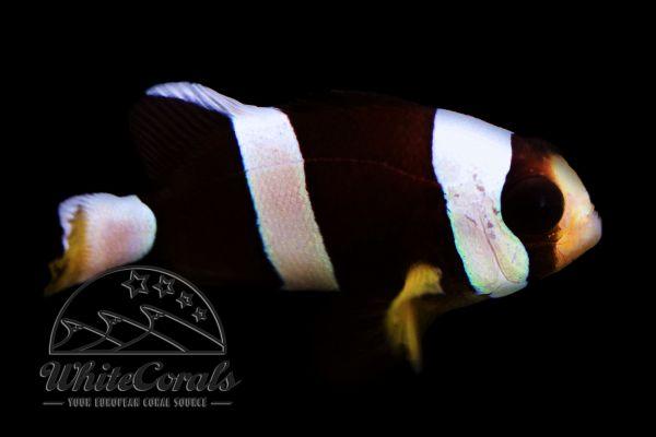 Amphiprion clarkii - Schwarzer Clarks Anemonenfisch