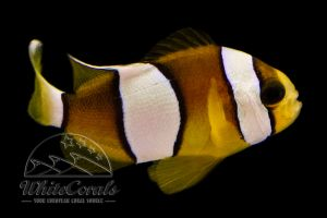 Amphiprion clarkii - Clarks Anemonenfisch