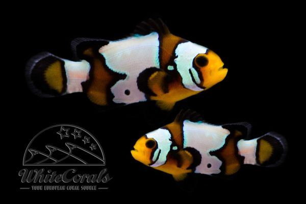 Amphiprion ocellaris - Black Ice Snowflake (Pair)