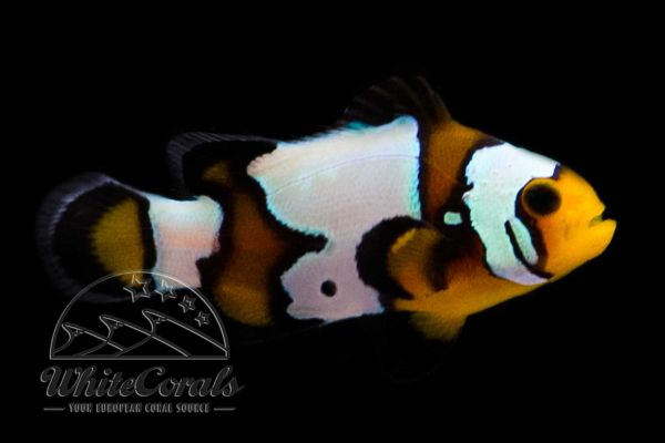 Amphiprion ocellaris - Black Ice Snowflake