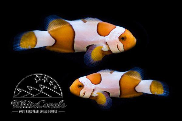 Amphiprion ocellaris - Davinci False Clownfish Pair