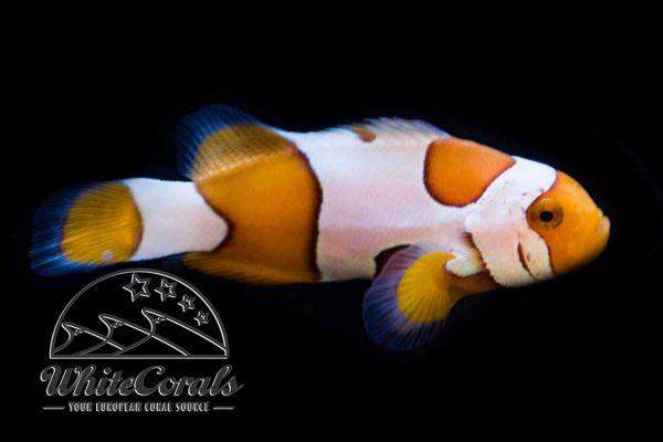 Amphiprion ocellaris - Davinci False Clownfish