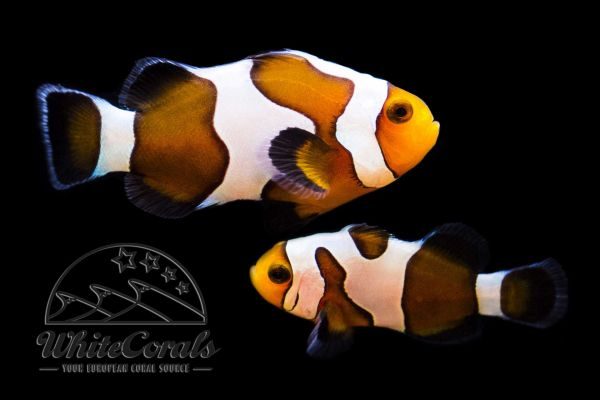 Amphiprion ocellaris Fancy White Pair (Sample Picture)