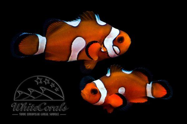 Amphiprion ocellaris - Misbar Clownfisch (Paar)