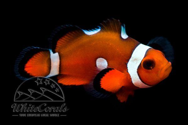Amphiprion ocellaris - Misbar Clownfisch
