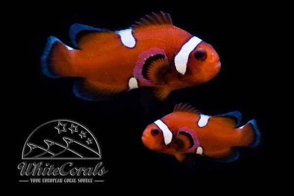 Amphiprion ocellaris - False Clownfish Mocha Extreme Misbar Pair