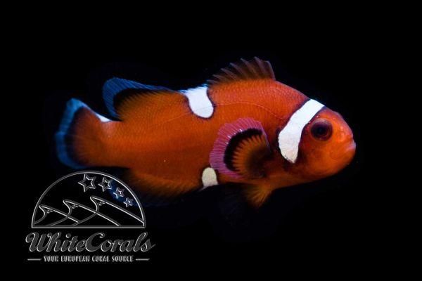 Amphiprion ocellaris - Falscher Clown-Anemonenfisch Mocha Extreme Misbar