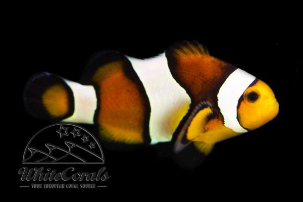 Amphiprion ocellaris - Mocca Clown anemonefish