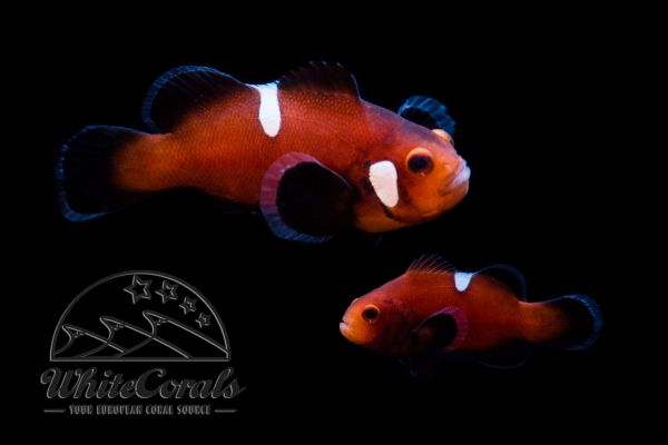 Amphiprion ocellaris - Naked Mocha Clownfisch (Pair)