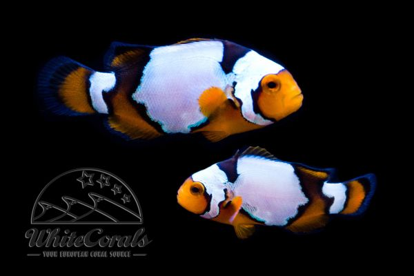 Amphiprion ocellaris x percula - Snow Onyx Clownfisch (Pair)