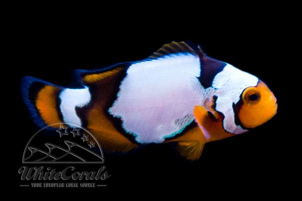 Amphiprion ocellaris x percula - Snow Onyx Clownfisch