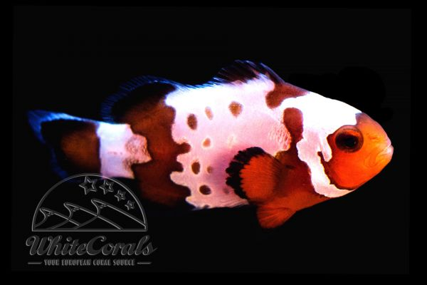 Amphiprion ocellaris - Snowflake Points Clownfisch