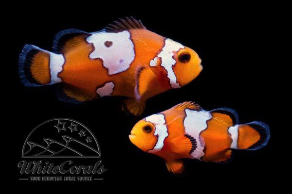 Amphiprion ocellaris - Premium Snowflake Clownfisch (Paar)