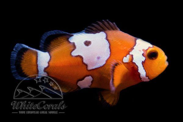 Amphiprion ocellaris - Fancy Snowflake Clownfish