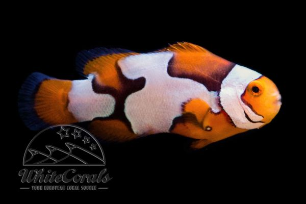 Amphiprion percula - Picasso Clownfish