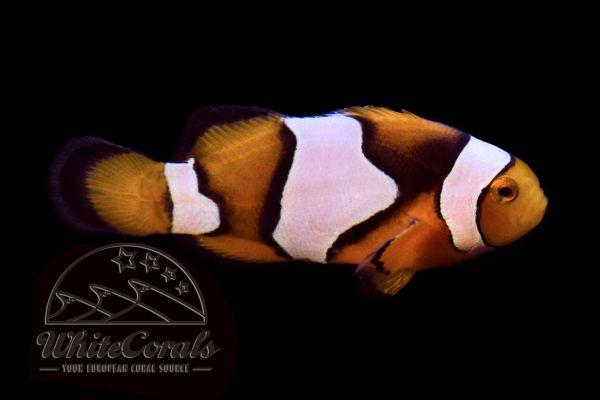Amphiprion percula - Picasso Clownfisch Nachzucht