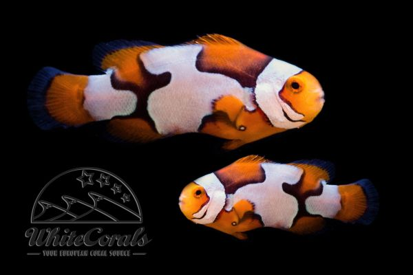 Amphiprion percula - Picasso Clownfish (Pair)