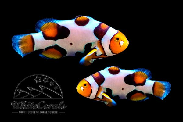 Amphiprion percula - Premium Picasso Clownfisch (aquacultured) Pair