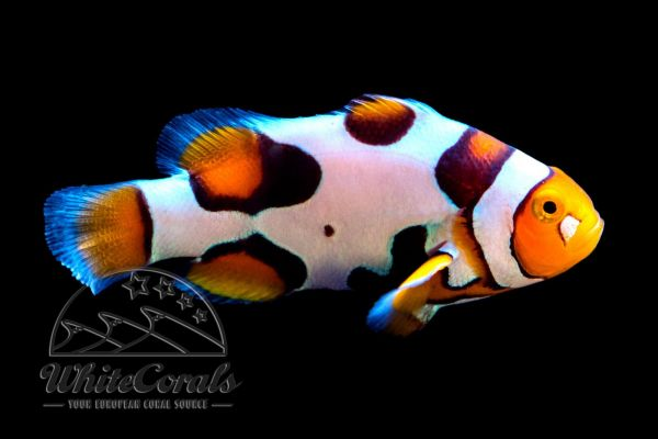 Amphiprion percula - Premium Picasso Clownfisch (aquacultured)