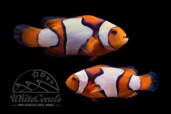 Amphiprion percula - Percula x Picasso Clownfish (Pair)