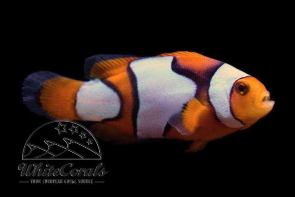 Amphiprion percula - Percula x Picasso Clownfisch