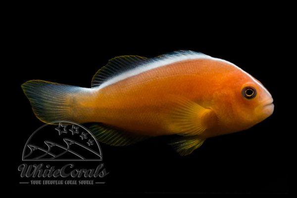 Amphiprion akallopisos - Indischer Weißrücken-Clownfisch