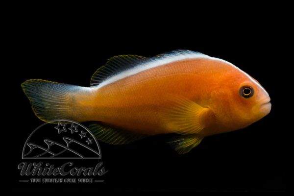 Amphiprion akallopisos - Skunk Clownfish