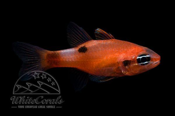 Apogon maculatus - Flammen-Kardinalbarsch