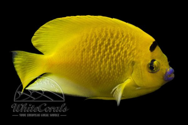 Apolemichthys trimaculatus - Threespot angelfish