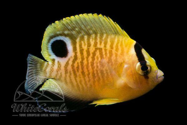 Apolemichthys xanthopunctatus - Goldflake Angelfish