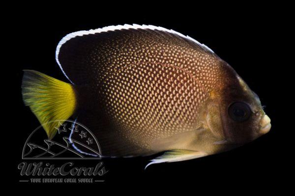 Apolemichthys xanthurus - Xanthurus Cream Angelfish