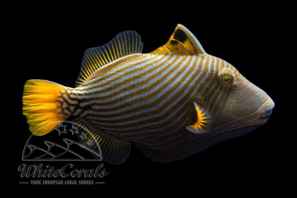 Balistapus undulatus - Orangestreifen Drückerfisch