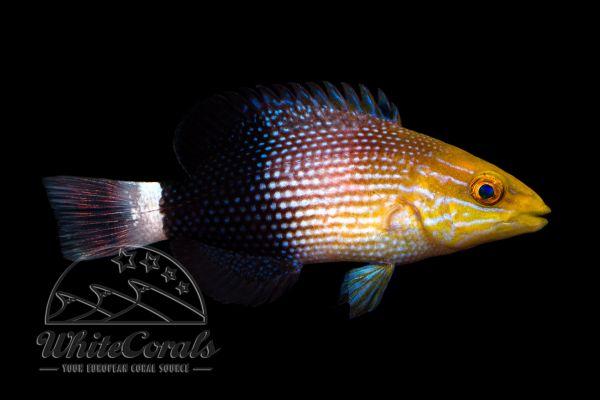 Bodianus macrousus - Schwarzband-Schweinslippfisch