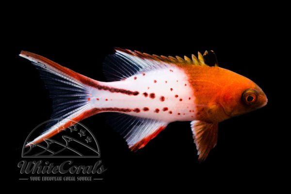 Bodianus anthioides - Schleierschwanz-Schweinslippfisch