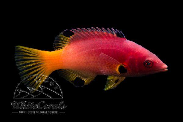Bodianus axillaris - Achselfleck-Schweinslippfisch