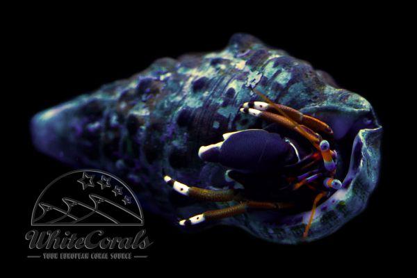 Calcinus laevimanus - Hermit Crab