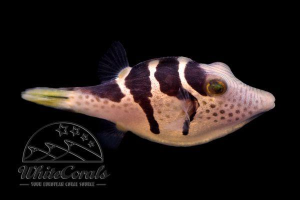 Canthigaster valentini - Saddle Valentini Puffer