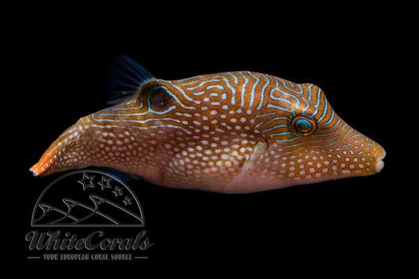 Canthigaster solandri - Augenfleck-Spitzkopf-Kugelfisch