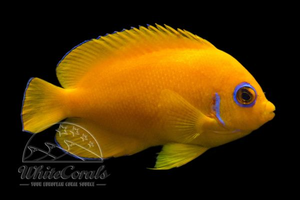 Centropyge flavissima - Lemonpeel Angelfish (Hawaii)