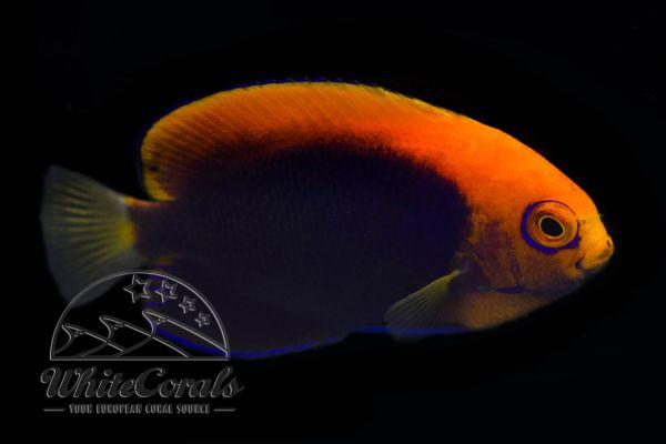 Centropyge acanthops - Flameback Angelfisch