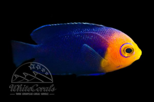 Centropyge argi - Cherub Angelfish