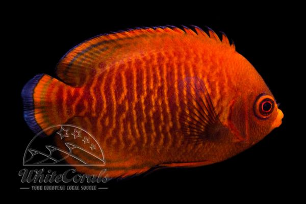 Centropyge aurantia - Golden Angelfish