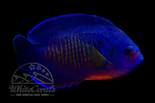 Centropyge bispinosa - Coral Beauty (High Blue)