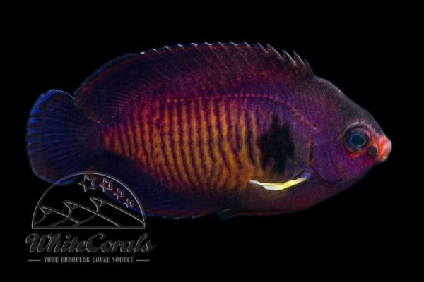 Centropyge bispinosa - Coral Beauty Angelfish